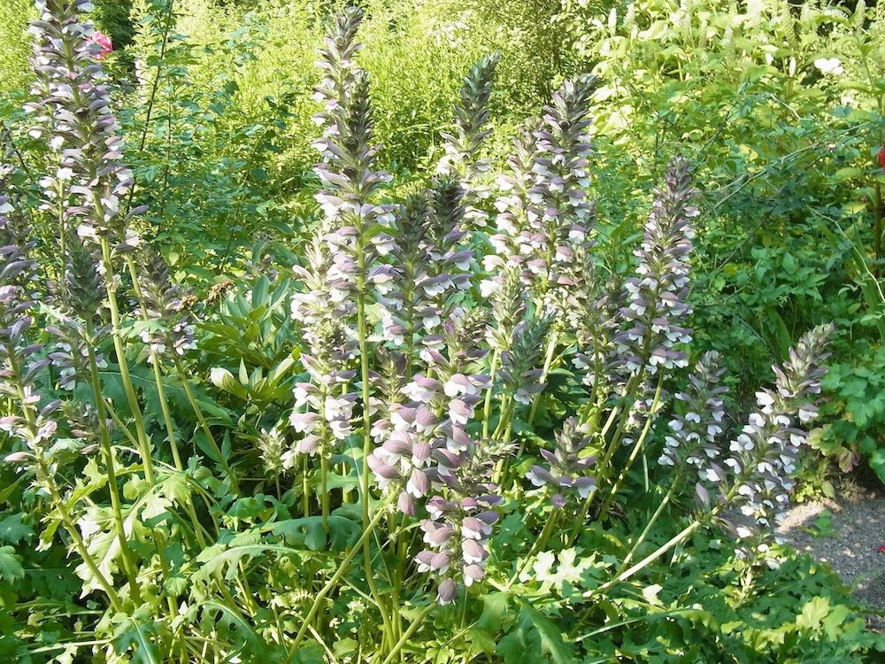 Acanthus mollis (Vielen Dank an Sara/Waldgarten für die Bestimmung der Pflanze!) – Burg Guttenberg – 5. Juli 2015 – kreativfreak