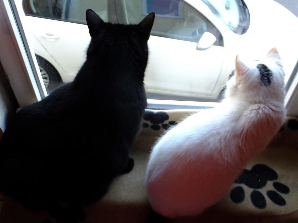 Zwei Katzen am Fenster - Mohrle und Lucky - 15. Januar 2016 - kreativfrek